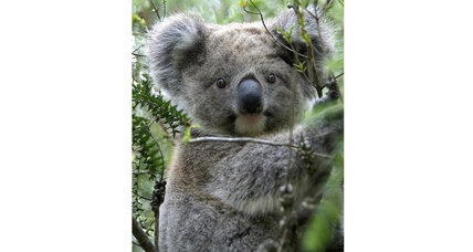 It's cool to be a tree hugger (at least if you're a koala)