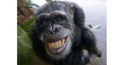 Looking to outwit the competition? Hire a chimp. (+video)