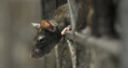 Rats may experience regret like humans, study says