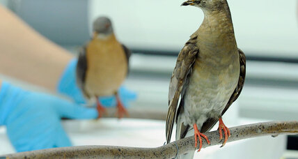 Could science bring back the passenger pigeon?