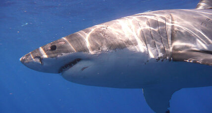 Great white shark populations growing in eastern north Pacific, say researchers