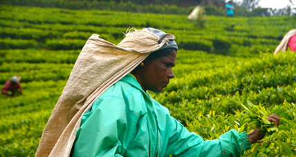 Sri Lanka tea plantations go greener