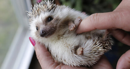 Hedgehogs poking ahead as popular pets
