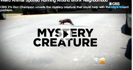 Mysterious creature roaming the Bronx is...a type of weasel