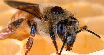 Can Obama save the honey bees?