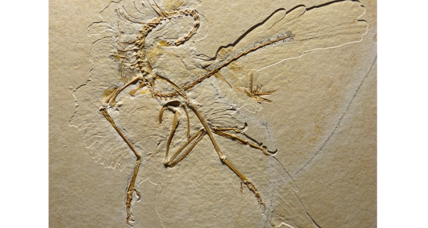 Prehistoric dino-bird wore feathery pants, say scientists. But why? (+video)