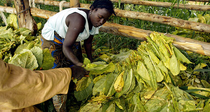 Big tobacco harvest not enough to save Zimbabwe's ailing economy