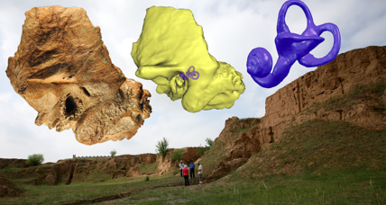 Neanderthal ear turns up in unexpected place, muddling evolutionary picture