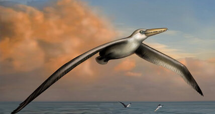 Largest flying bird ever had a wingspan of at least 20 feet, say scientists (+video)