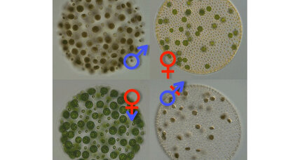 Where did the differences between males and females come from? Algae hold clues.