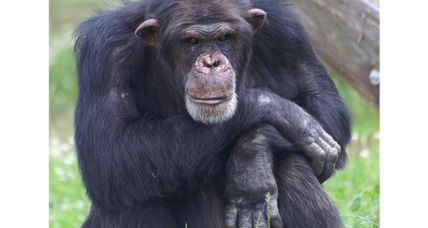 Some chimps smarter than others, say scientists