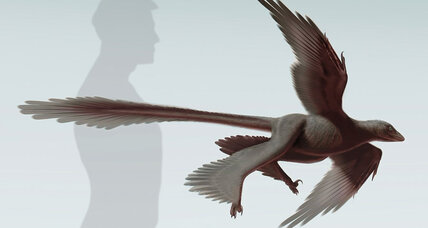 Bizarre feathered dinosaur had four wings, probably couldn't fly well