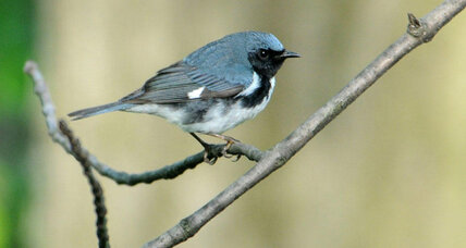 A Shazam for birds? Scientists develop birdsong identifier.