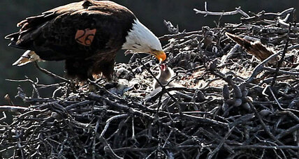 A California comeback for the bald eagle?