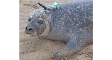 Offshore wind farms: A buffet for seals?