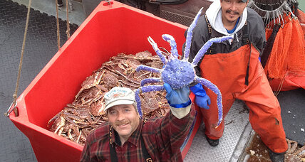 Blue king crab caught in Alaska, becomes local star
