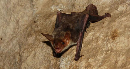 Bats use polarized light to set internal compass, say scientists