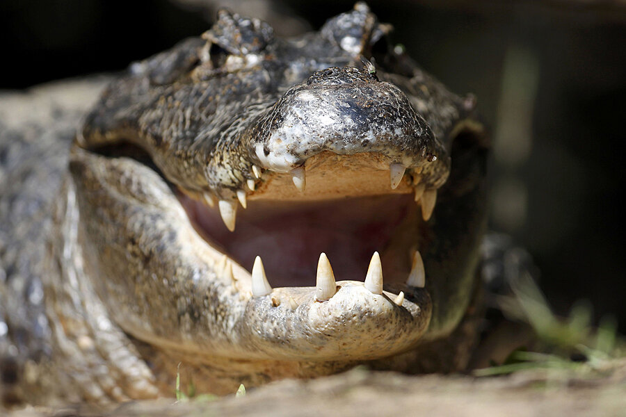 Alligator escapes zoo, tortoise may have helped