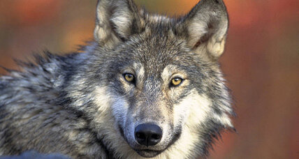 Minnesota allows expanded wolf hunt despite criticism