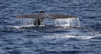 Small shift in West Coast shipping lanes can protect blue whales, study says (+video)