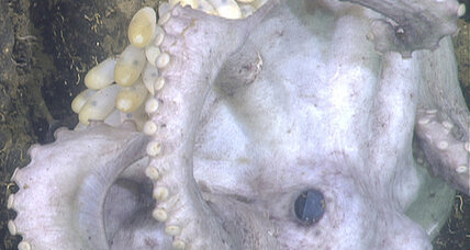 Octopus guarded eggs for years, forgoing food for herself