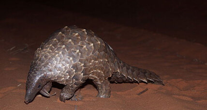 What is a pangolin and why are people eating them all?