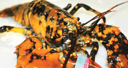 Calico lobster: How did it get its spots?