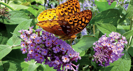 Plant a snack bar for butterflies