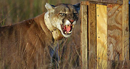Rebounding Florida panther population killing ranchers' calves, says study
