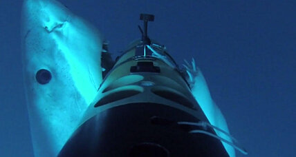 Watch great white sharks trying to eat an underwater robot