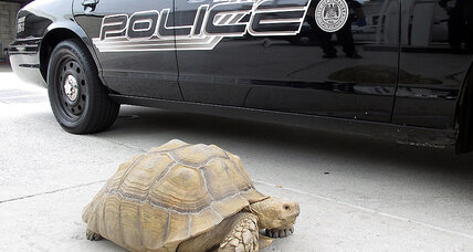 Police pursue giant tortoise through suburban LA
