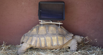 Is it cruel to strap an iPad to a tortoise?