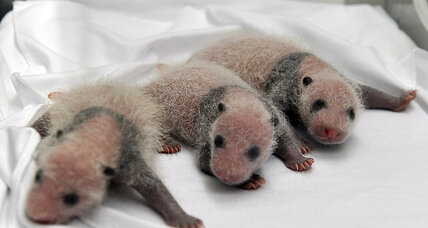 Panda triplets born in China. How rare are they?