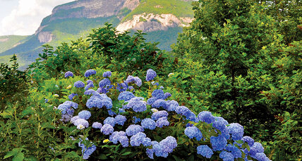 Easy-care hydrangeas