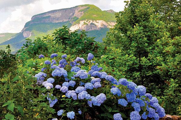 A Nikko Blue Hydrangea