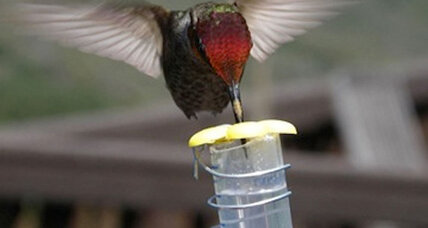 How did the hummingbird get its sweet tooth? Scientists unravel mystery.