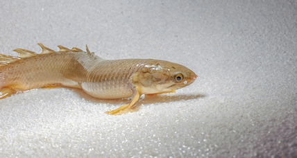 To study evolution, scientists raise fish to walk on land