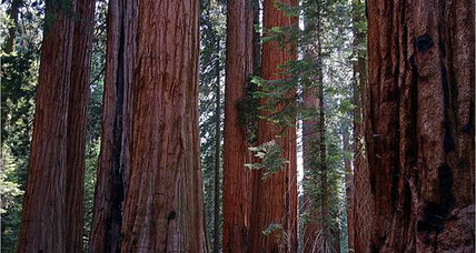 Will climate change wipe out the sequoias?