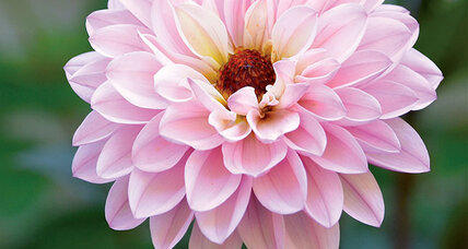 Diverse dahlias are dazzlers