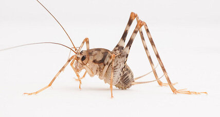 Are you sharing your home with invasive crickets?