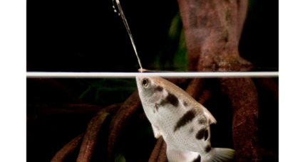 Ptooey! Sharpshooter fish hunts by spitting, say researchers.