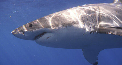 Kayakers survive great white shark attack