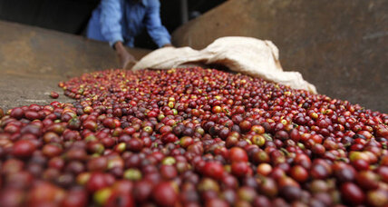 Coffee study reveals the genetics of java