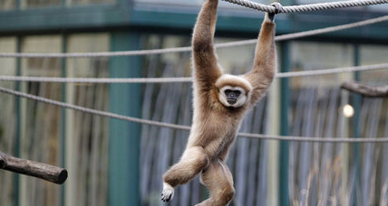 Scientists unveil gibbon genome, reveal secrets of our endangered ape relatives