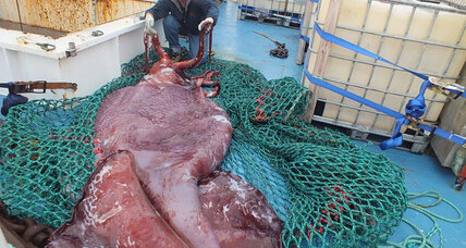 New Zealand colossal squid: Rare, close-up look