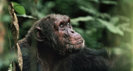 Humans aren't to blame for chimpanzee violence, study says