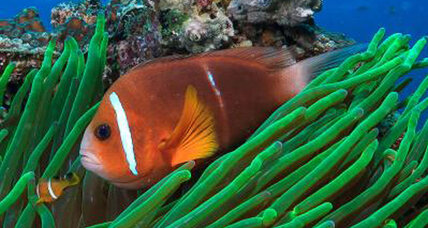 New study reveals that 'Finding Nemo' could really happen, sort of