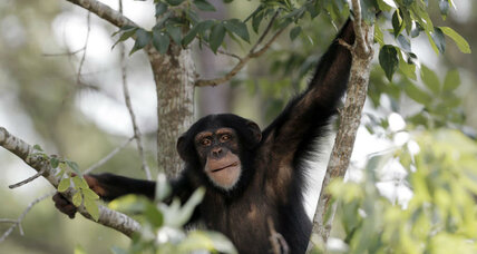 Why are chimps violent? Is it our fault?