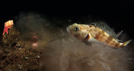 Antarctic fish with ice in its veins: How does it stay alive? (+video)