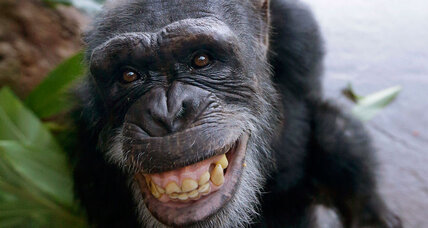 Thinking of getting a chimpanzee? Read this first. (+video)